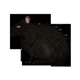 アマミノクロウサギの画像 p1_2