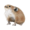 ナキウサギ